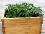 A wooden raised bed with vegetable gardening including tomatoes.