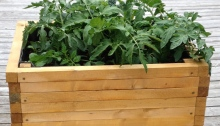 A wooden raised bed with plants including tomatoes.