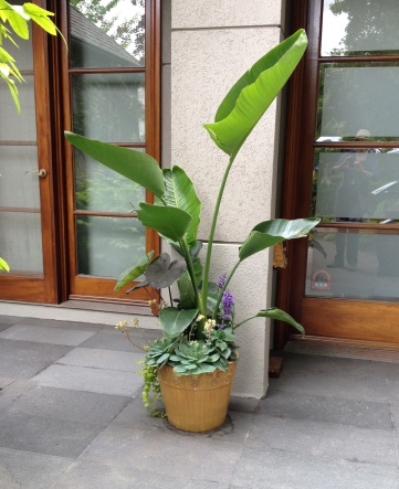A small container is planted with a tall tropical plant.