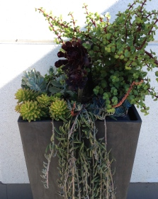 A container of tall and trailing succulents