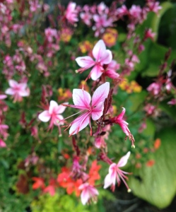 Gaura and other super bright flowers in a container planting.