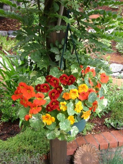 Nasturtiums in a hanging basket.