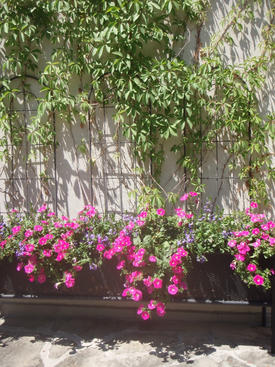 A creative container planting includes Virginia creeper growing up a wall.