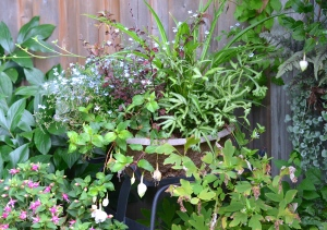 A romantic container recipe with Bird's Foot Fern, fuchsias and spider plants
