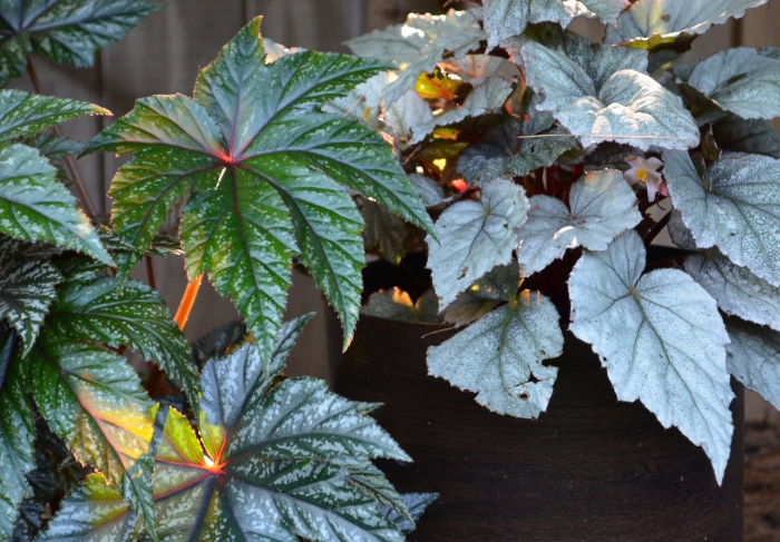 Two kinds of Rex Begonias for single plant containers.