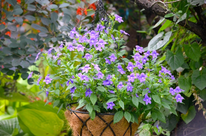 A browallia for full shade gardens has purple flowers.