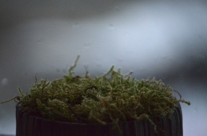 Moss grown in a pot in Iceland.