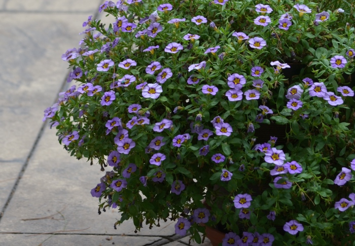 A calibrachoa with purple blooms