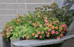 A bright, fast growing container planting with calibrachoa