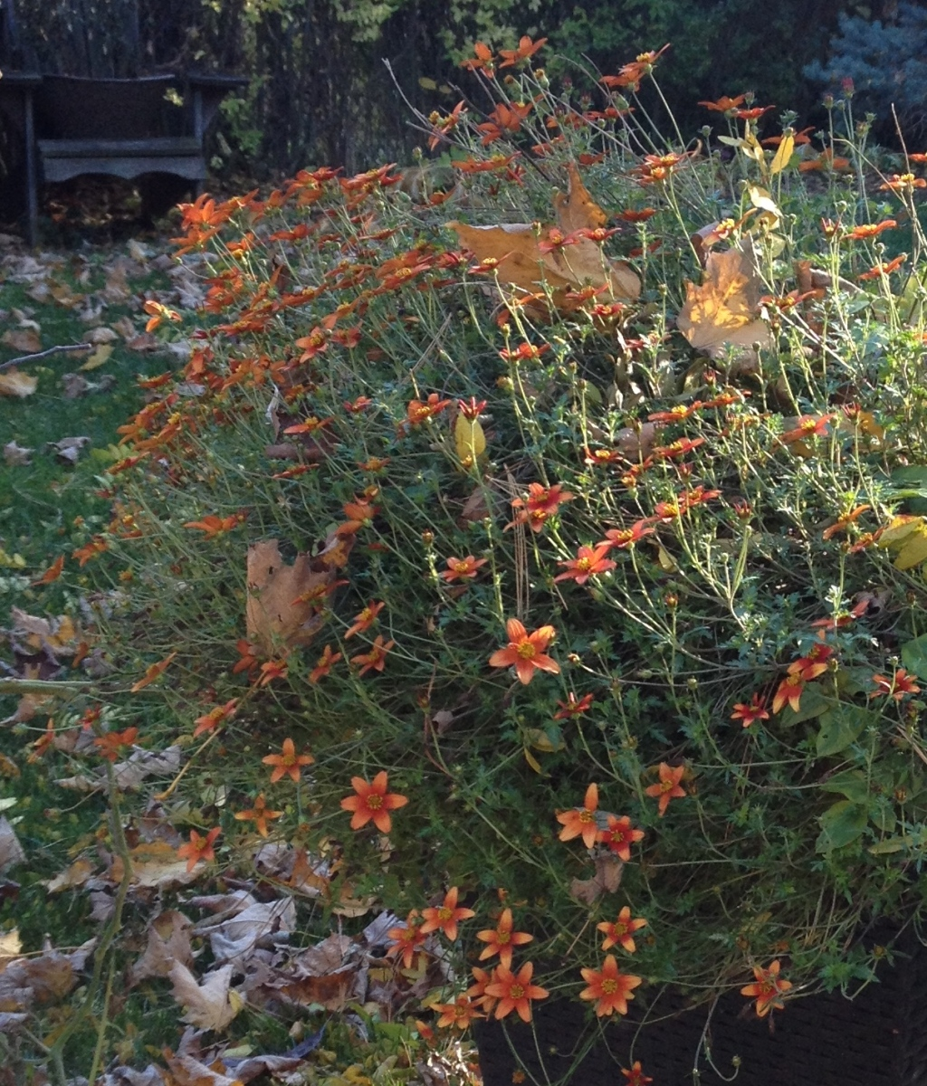 Campfire Fireburst Bidens delivers blooms late into fall.