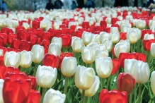 Canadian anniversary tulip giveaway includes red and white tulips as seen here