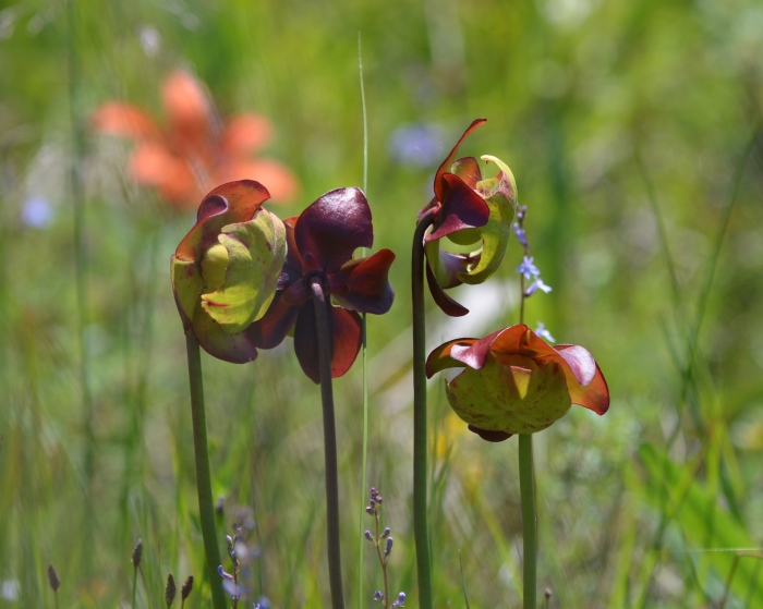 A Pitcher Plant in full bloom showing petals, sepals and stigma.