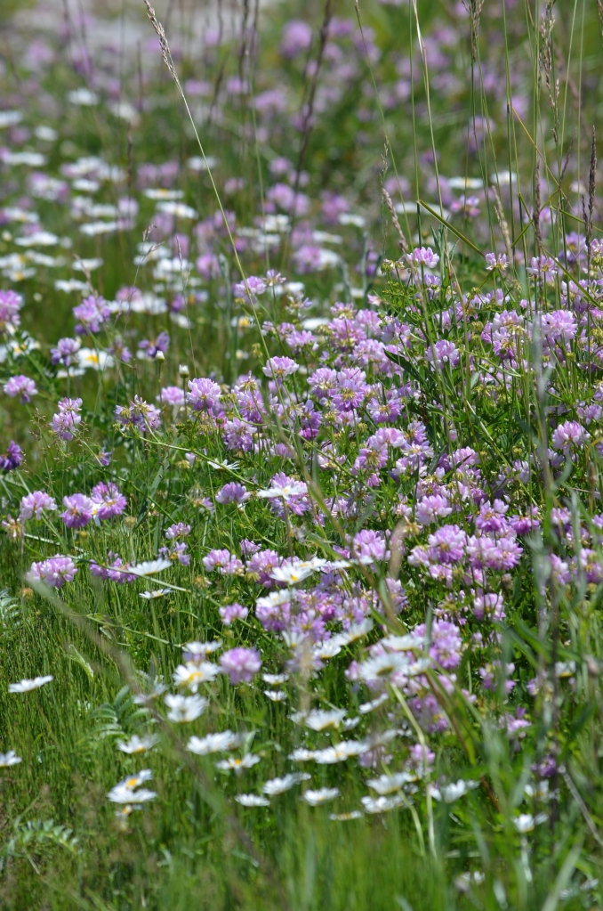 A swath of purple clover in a wildflower meadow.