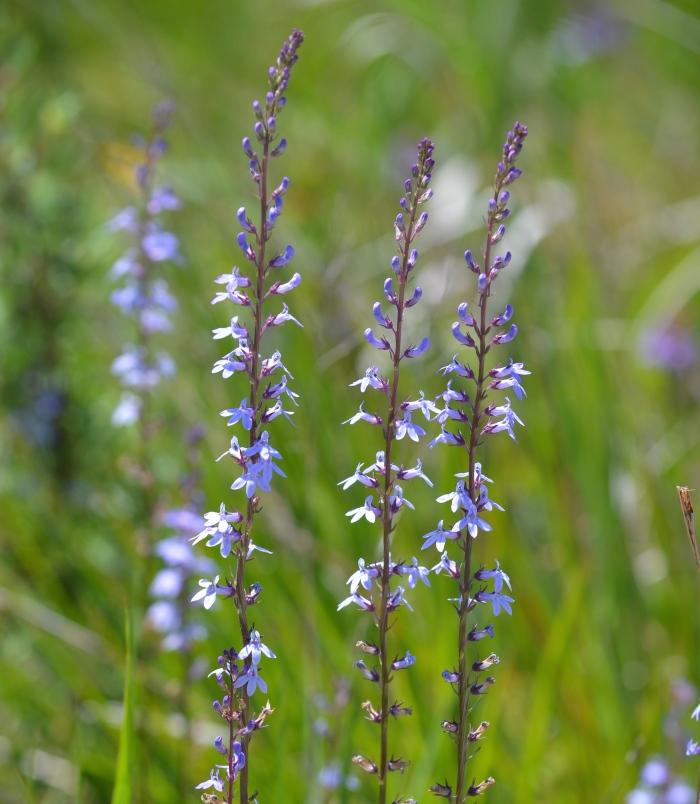 Kalm's Lobelia (Lobelia kalmii). Blooms July to September. Shot July 1, 2015.