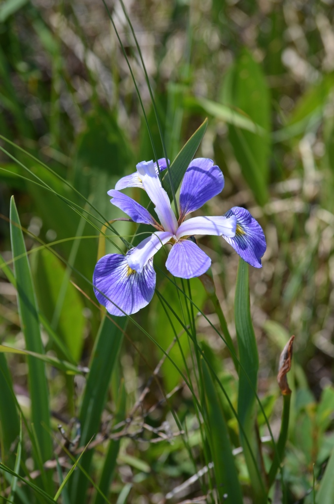 Blue Flag Iris (Iris versicolor). Blooms May to August. Shot July 1, 2015.