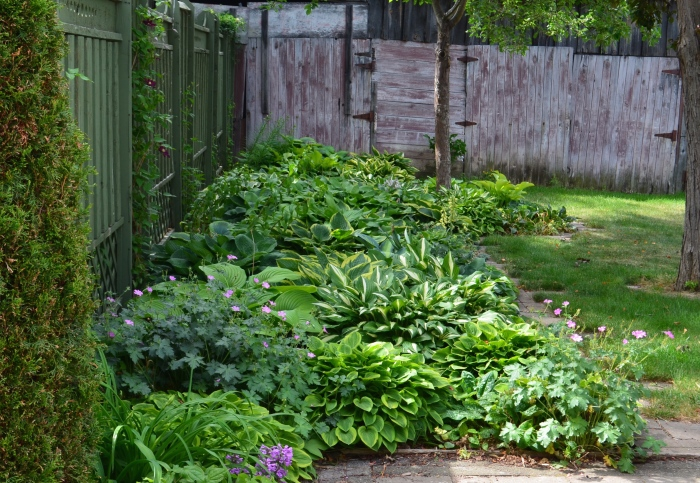 A front garden with fence and bed of hostas