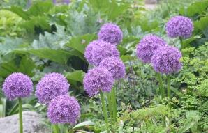 Giant purple blooms on ornamental onions