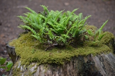 Ferns and moss grow from the top of a stump