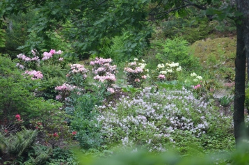 A woodland garden featuring a great variety of rhododendrons
