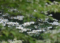 A shrub with white blossoms framed by greenery