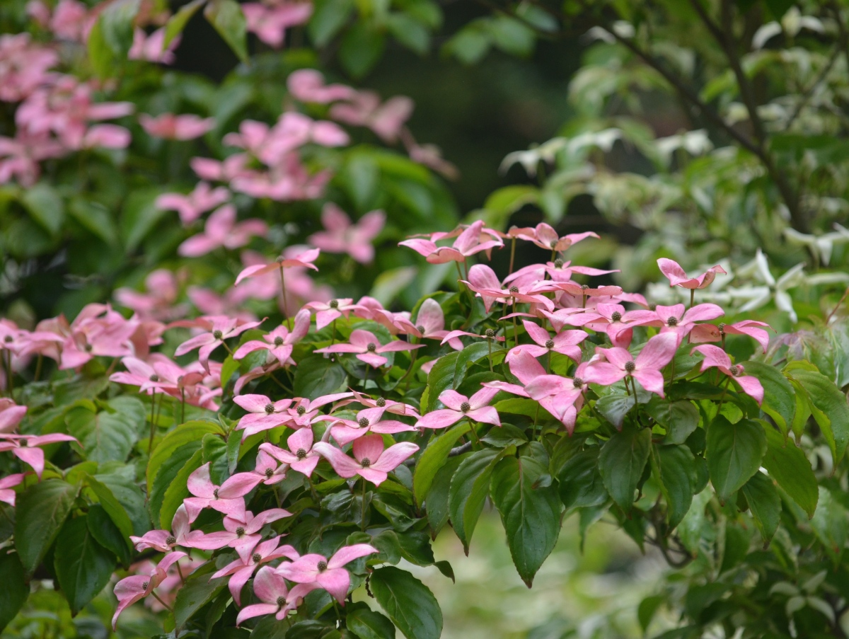 A pink flowering Dogwood