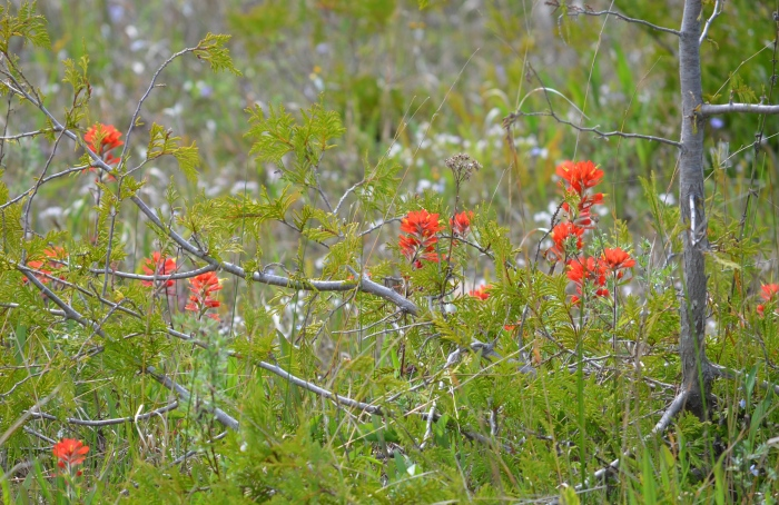 Bright red wildflowers in a meadow.