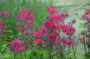 Bright pink flowers set off by the green of a pond.