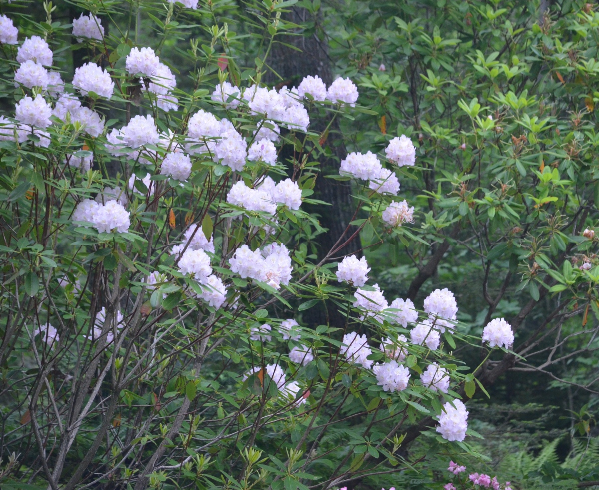 A large white rhododendron shrub in full bloom.