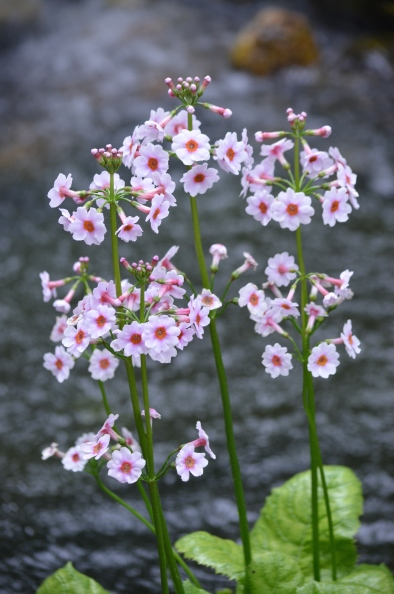 Flowers shown by a rippling pond.
