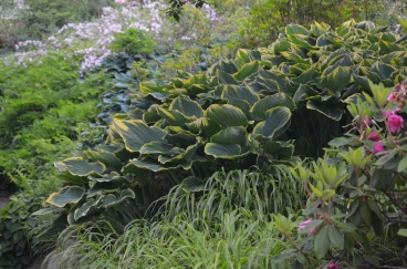 Hostas fill a slope in a woodland garden.