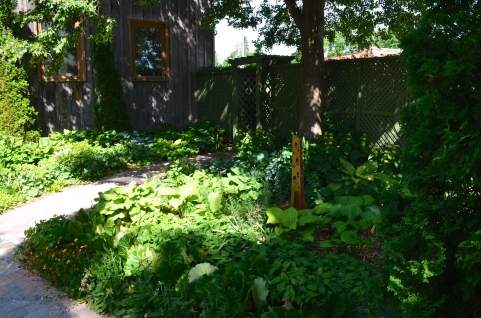 A shady garden of hostas against the side of a house