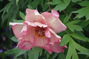 A close up of a coral coloured peony.