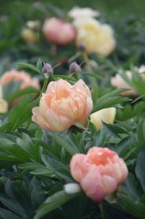 Close up of peach peonies