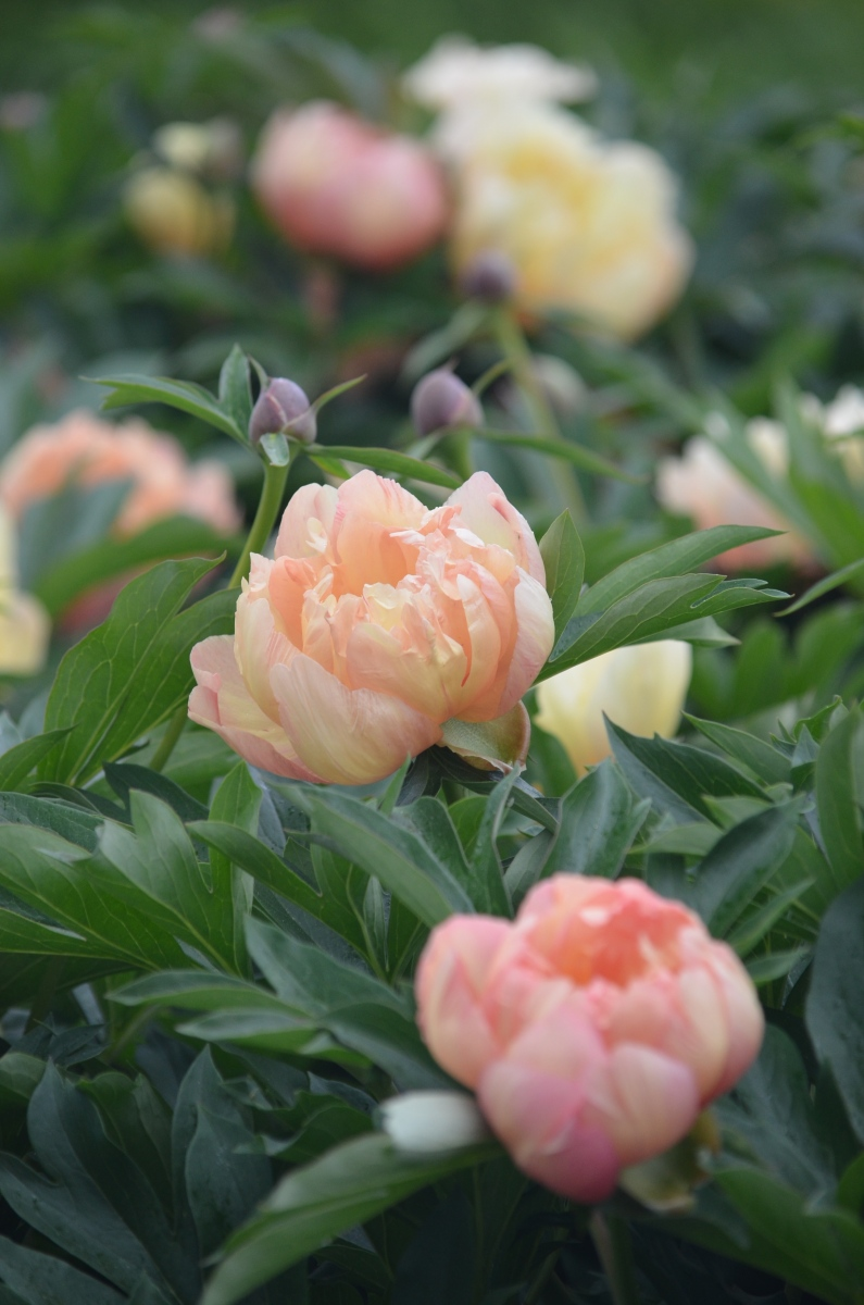 Close up of peach peonies