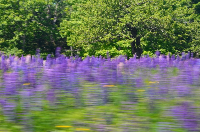 A field of lupins is photographed from a moving car.