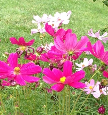 A group of bright pink Cosmos flowers