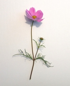 A single cosmos flower against a plain white background