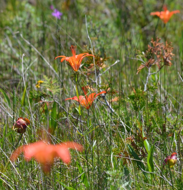 Wild orange lilies in a meadow.