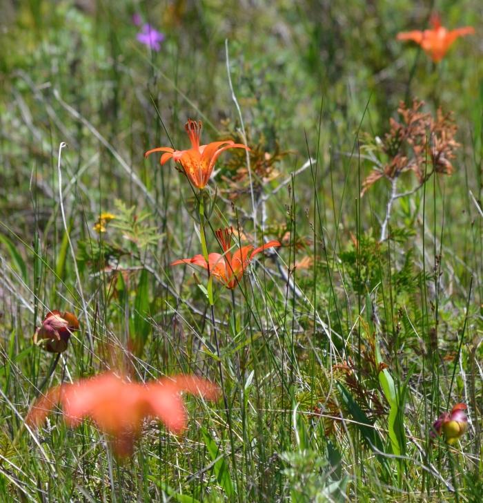 Wild orange lilies in a meadow.