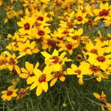Coreopsis verticillata Sizzle & Spice 'Curry Up'
