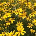 The bright yellow flowers of Coreopsis Flower Of Hope