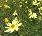 The pale yellow flowers of Coreopsis Moonbeam