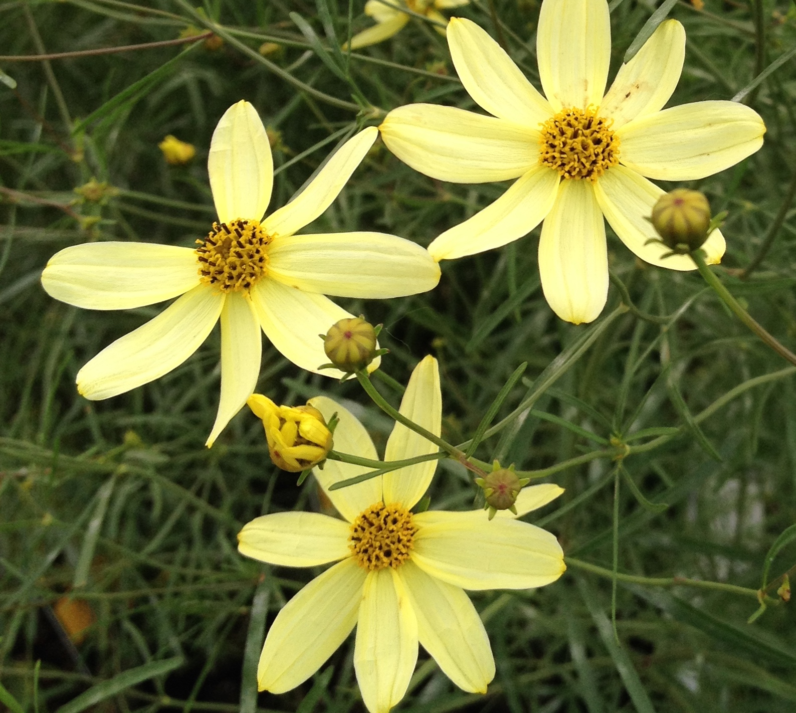 Coreopsis A Star Reborn In The Summer Garden Ministry Of The Fence