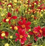 Coreopsis Red Satin flowers and flowerbuds