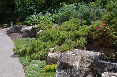 A prostrate conifer in a rock garden with very large rocks.