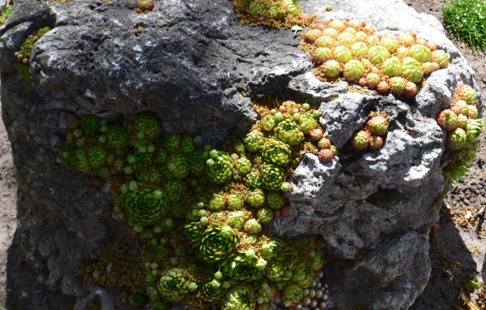 Succulents grow from tiny crevices in a rock.