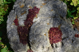 Wine-red succulents growing on a rock.