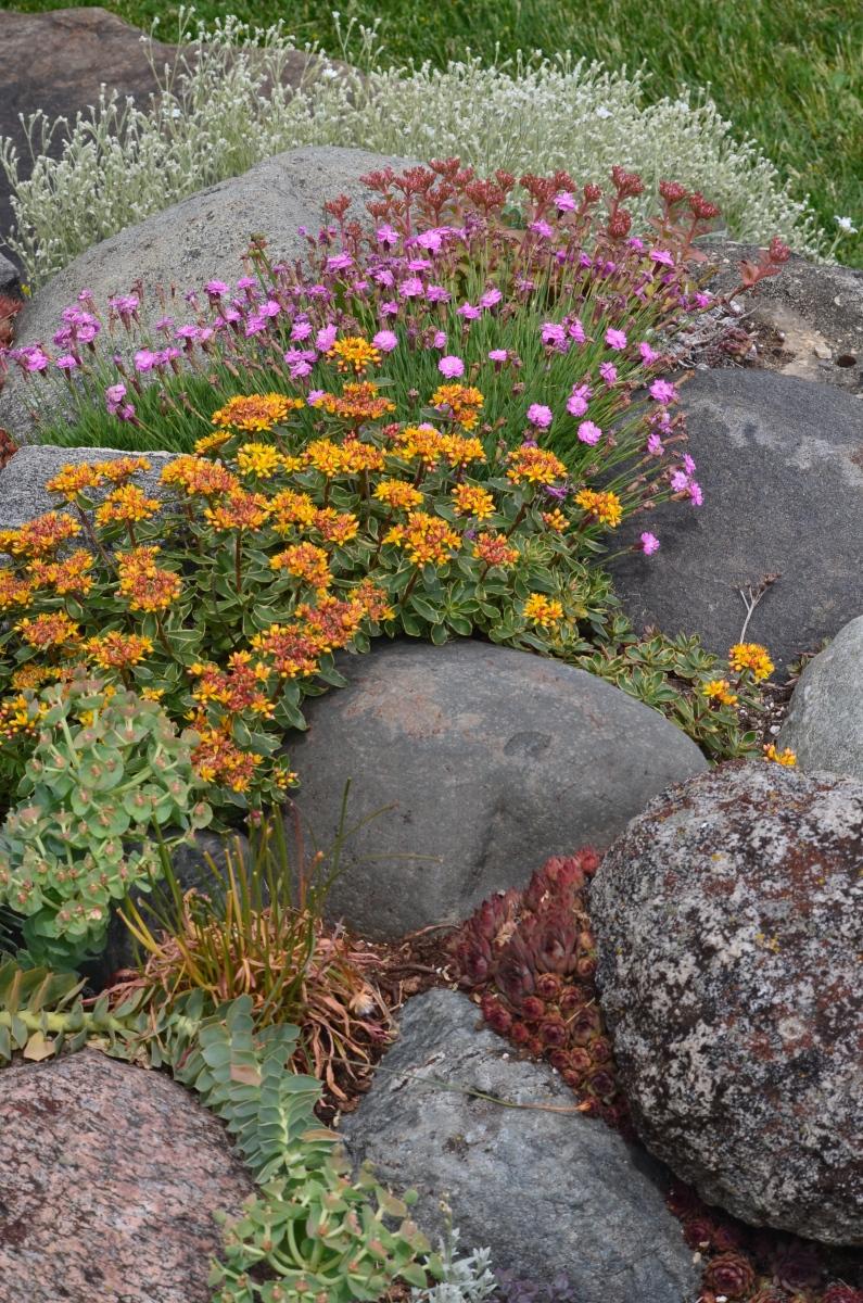 A rock garden in bloom