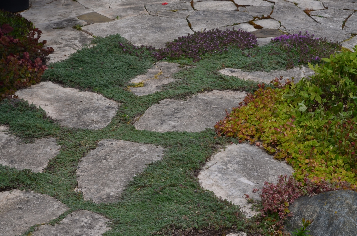 Herbs and succulents grow between rock pavers