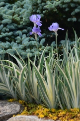 Variegated irises against an evergreen backdrop.